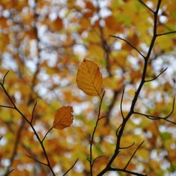 Autumn leaves, Crathes